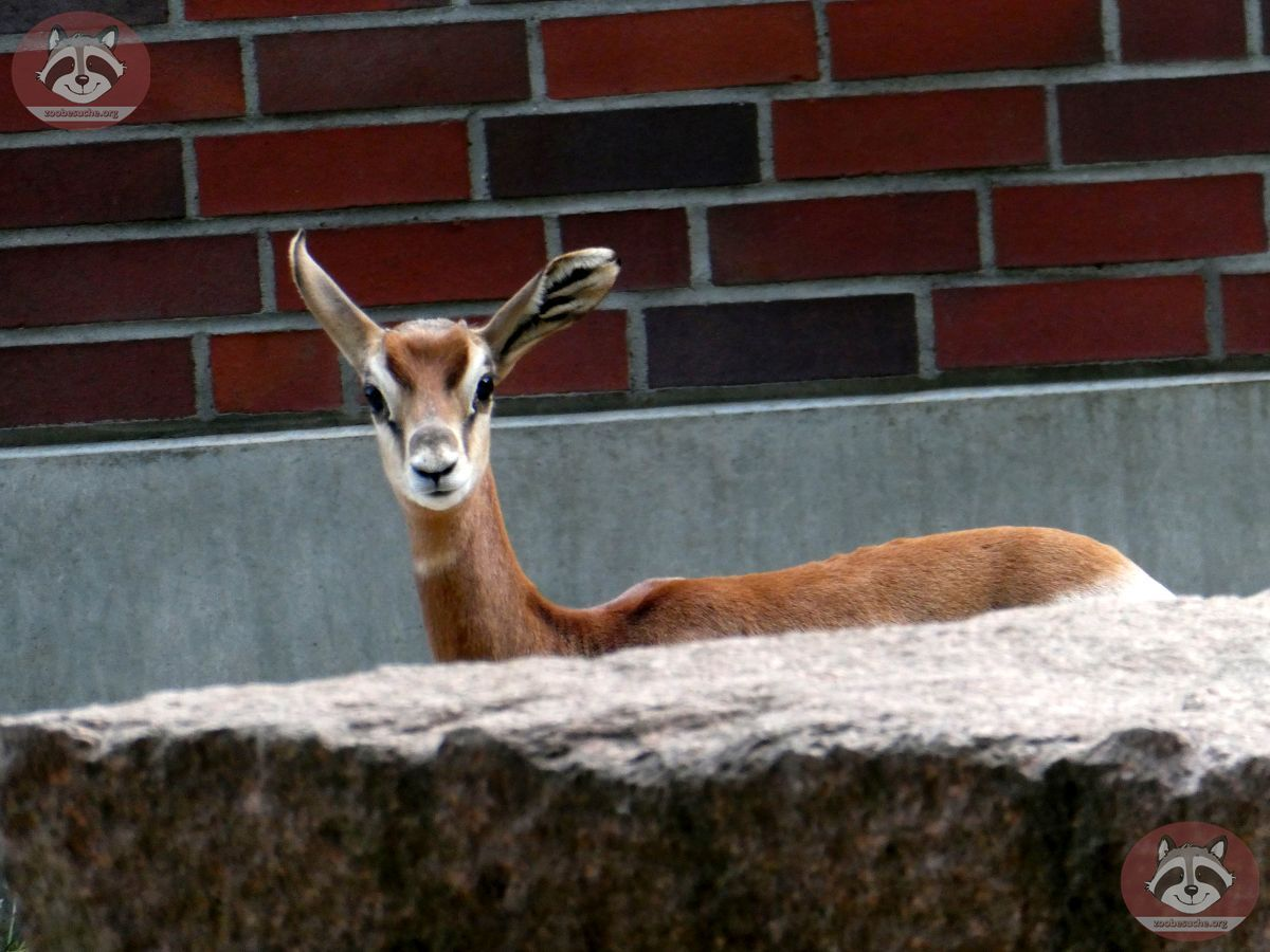 Mhorr Gazelle  (4)