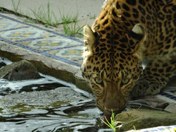 Leopard  (19)