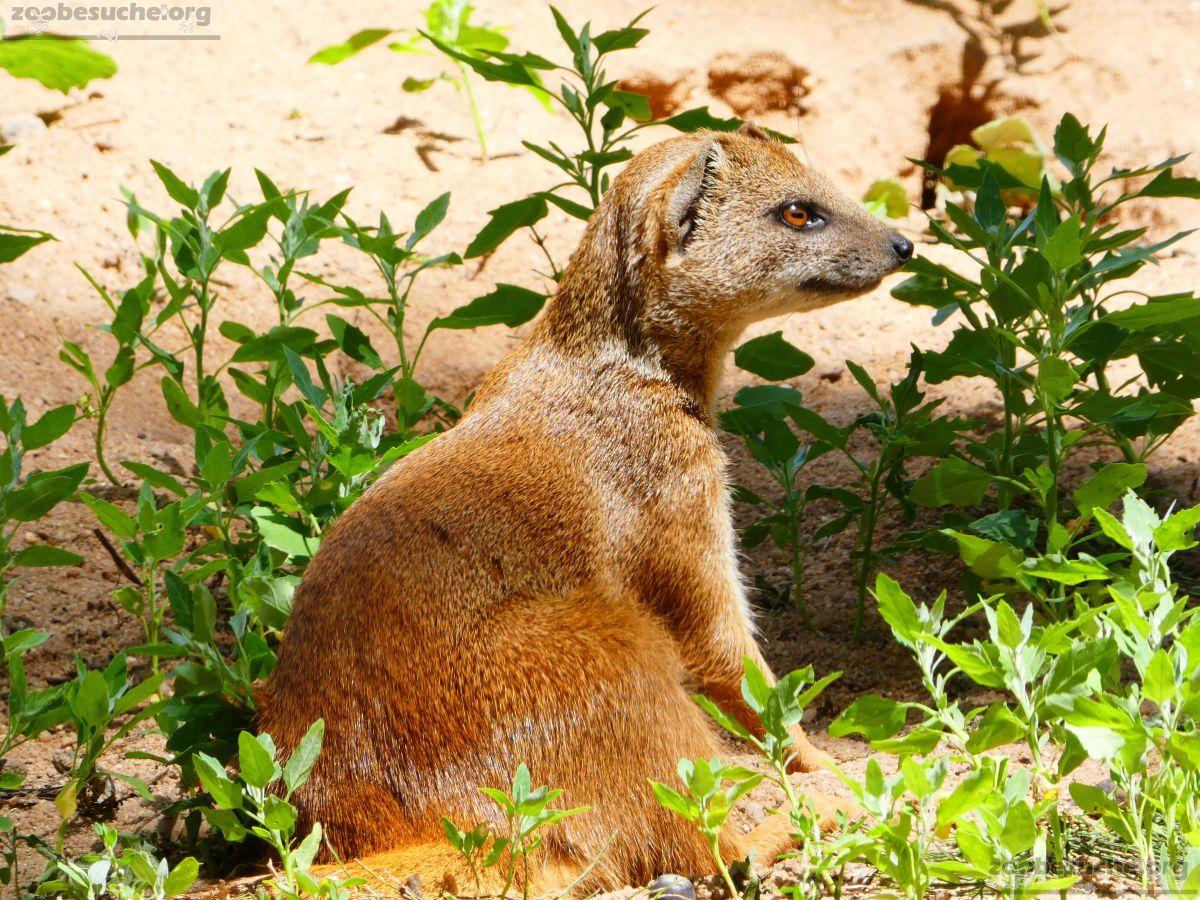 Fuchsmanguste  (5)