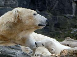 Eisbär  (84)