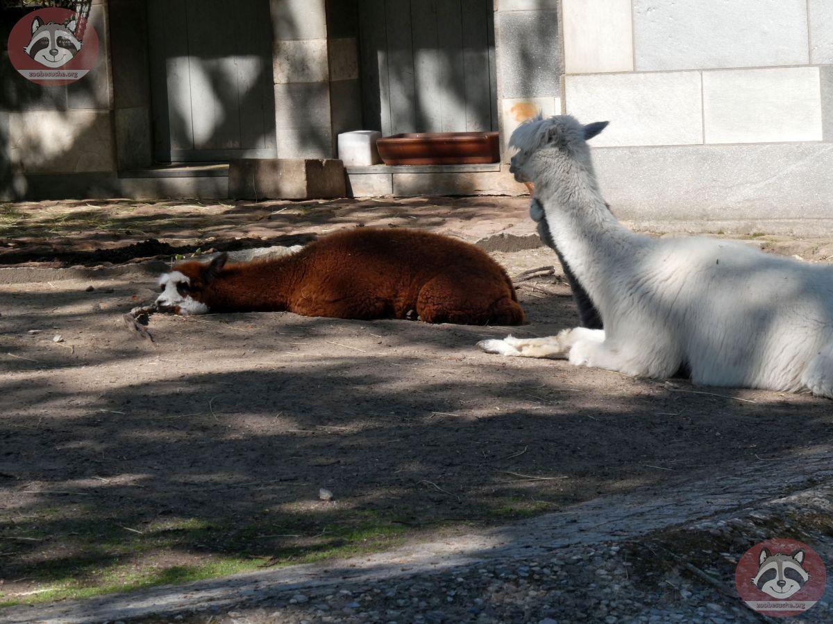 Alpaka  (2)