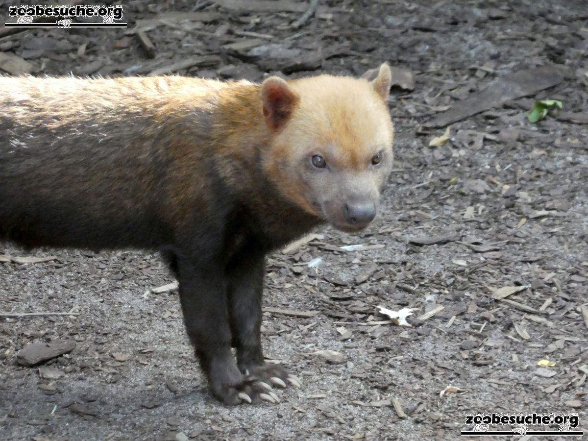 Waldhund  (1)