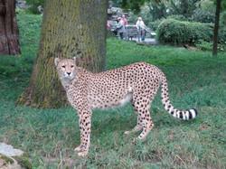 Gepard  (9)