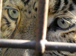 Leopard Julius  (4)