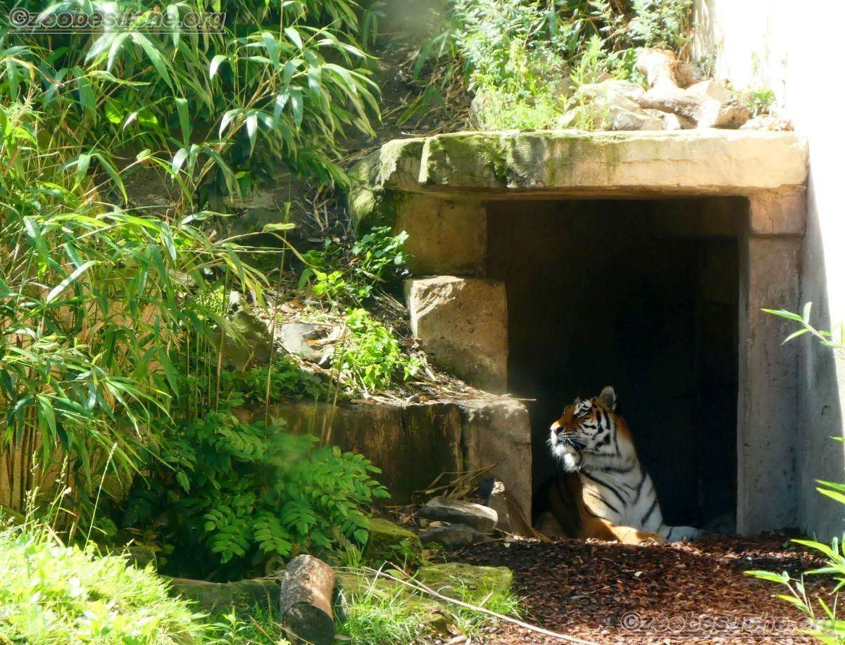Tiger (44)