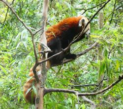 Roter Panda  (11)