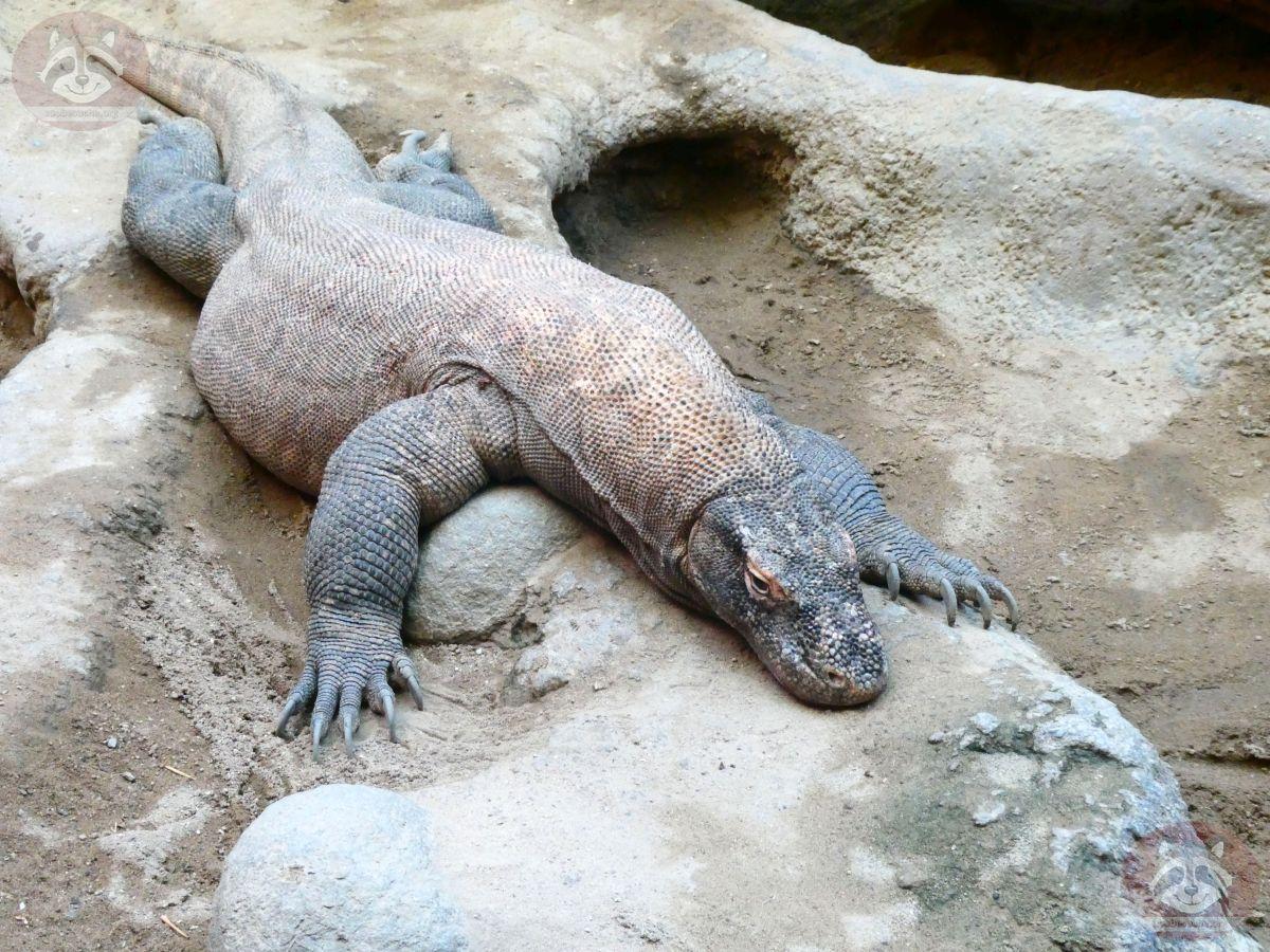 Komodovaran (3)