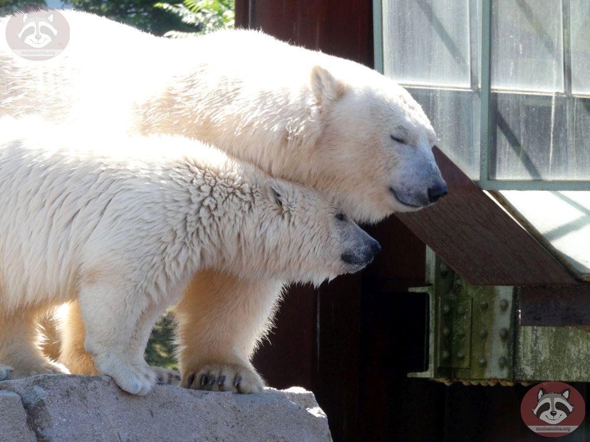 Eisbären_Milana_und_Nana_(8)