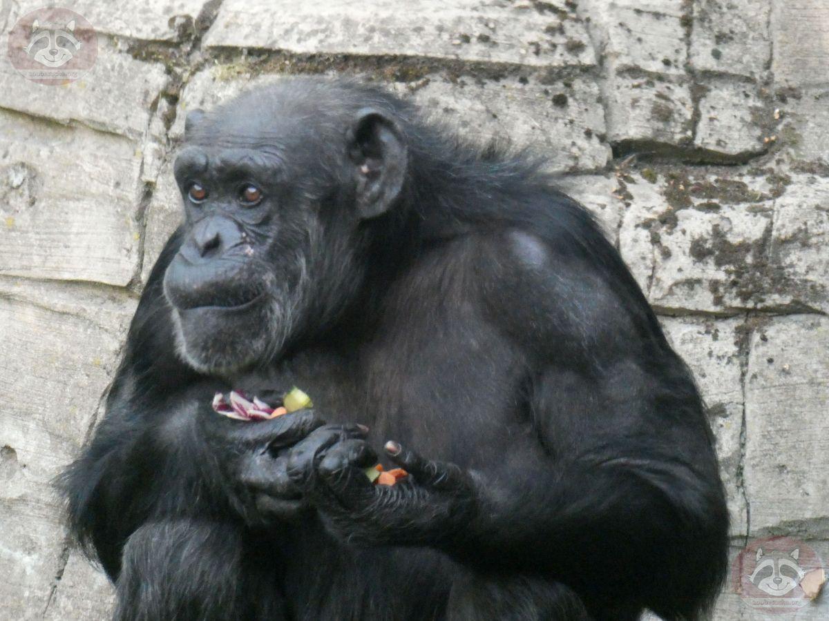 Schimpansen (4)