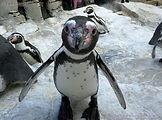 Pinguin  (8).jpg