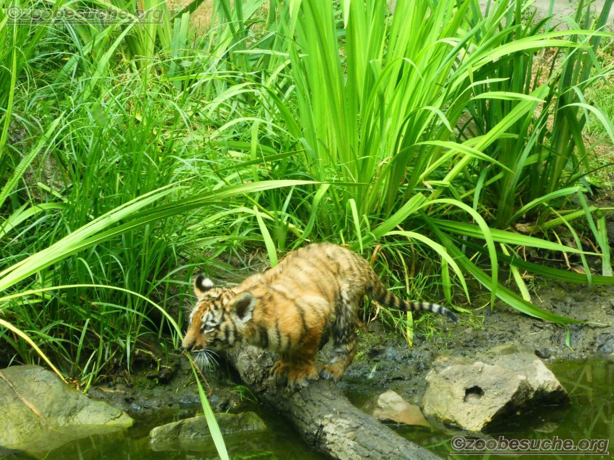 Tiger Jungtiere  (59)