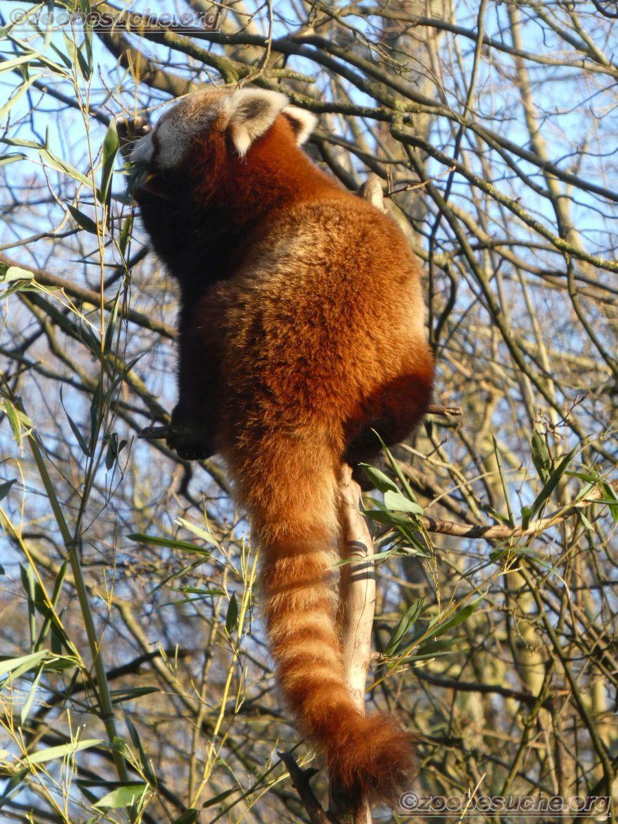 Roter Panda  (7)