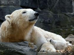 Eisbär  (83)