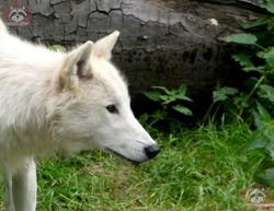 Hudson Bay Wolf (3)