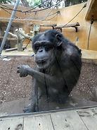 Schimpanse  (1).jpg