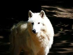 Polarwolf  (9)