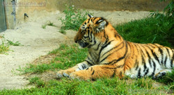 Tigerjungtiere  (8)