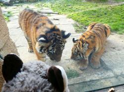 Wuschel mit Tiger Jungtier  (18)
