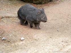 Wombat Maja  (4)