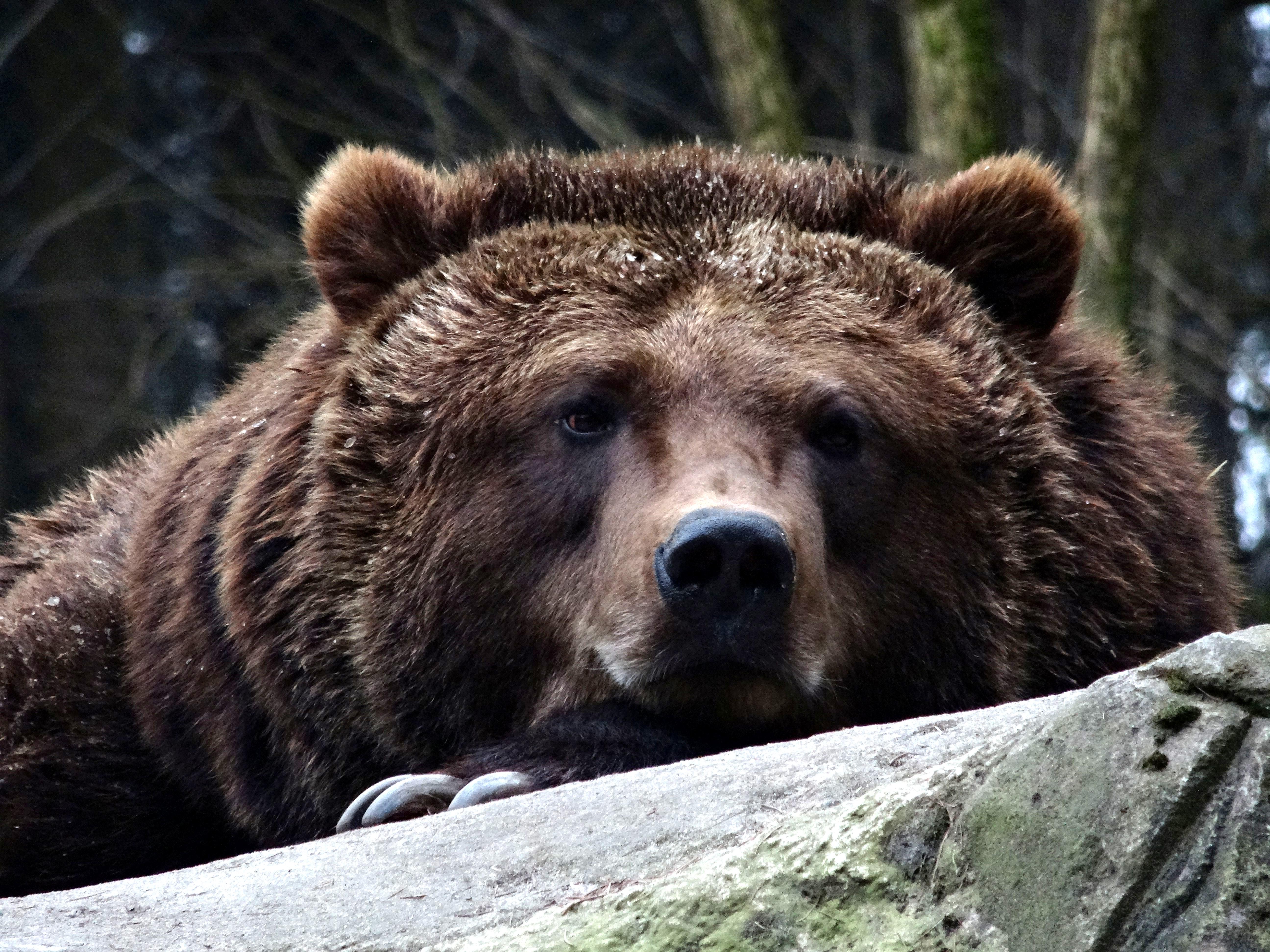 Braunbär  (9)