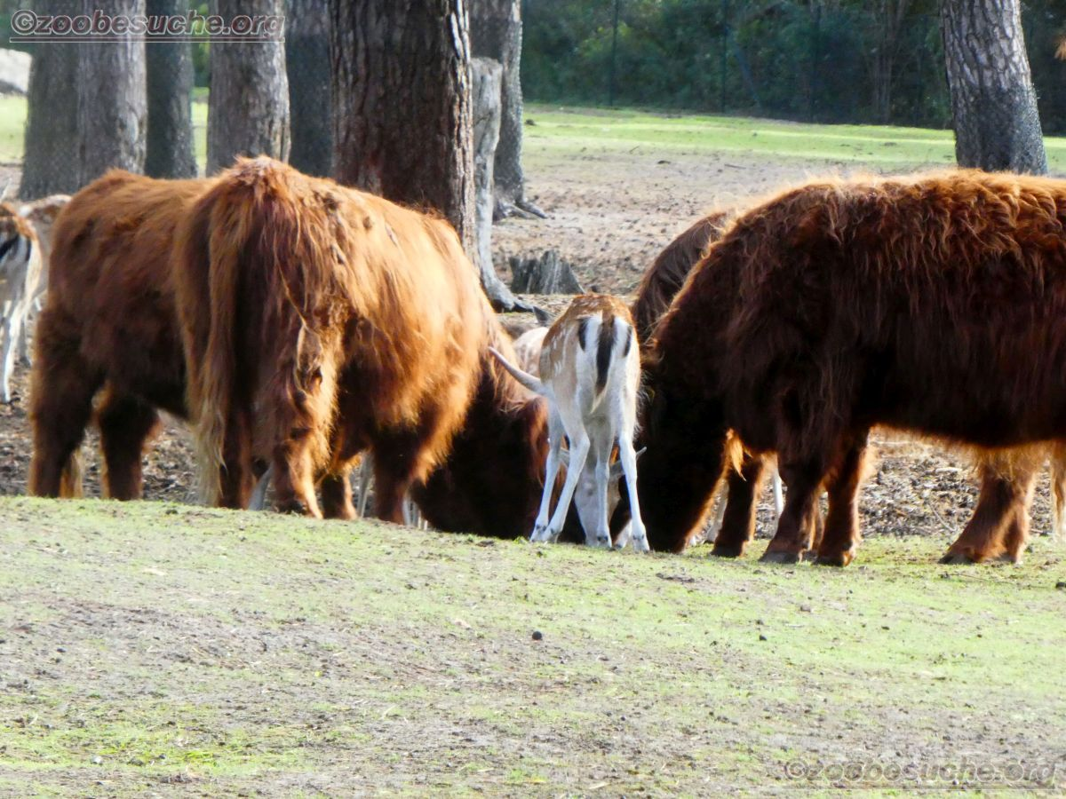 Highland Rinder  (10)