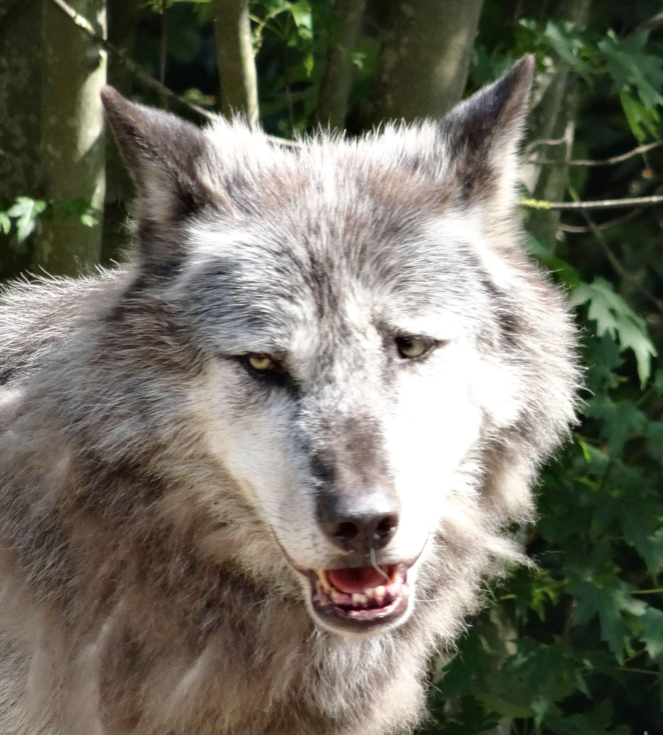 wolf  (5)
