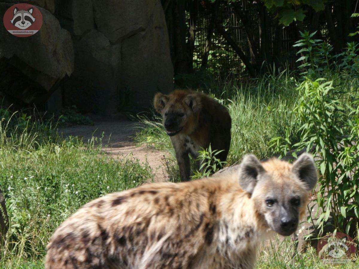 Hyäne  (3)