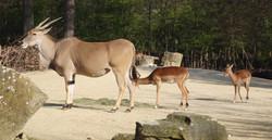 Ellenantilope  (1)