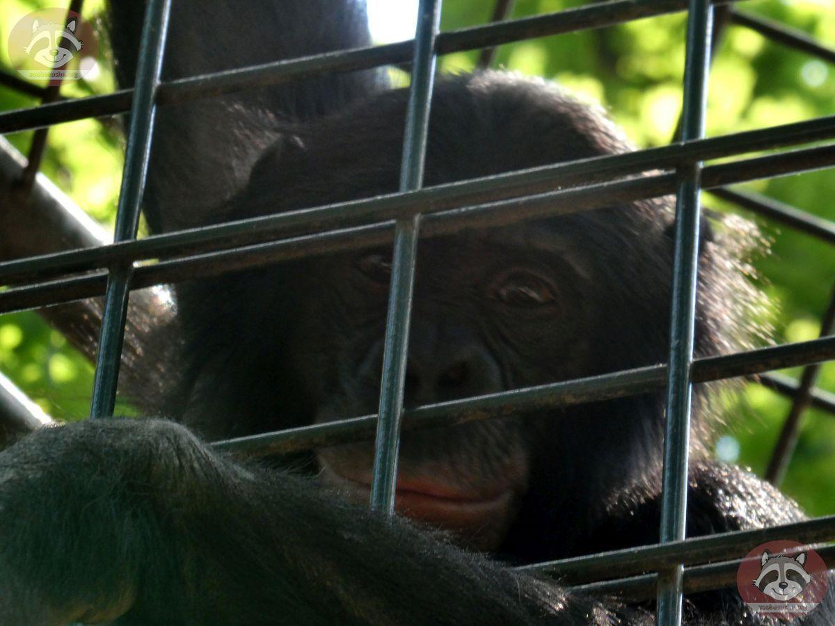 Bonobo  (5)
