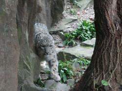 Schneeleopard  (3)