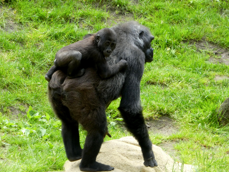 Gorilla  (15)