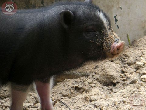 Hängebauchschwein (1).jpg