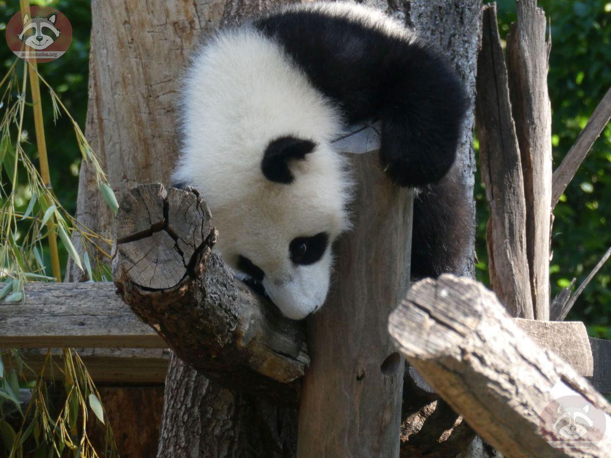 Panda Jungtier  (8)