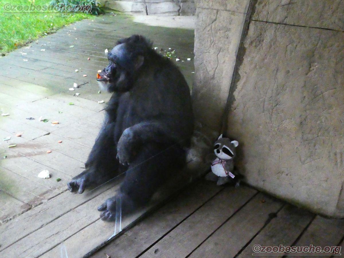 Schimpansen mit Wuschel  (5)