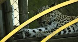 Leopard  (3)