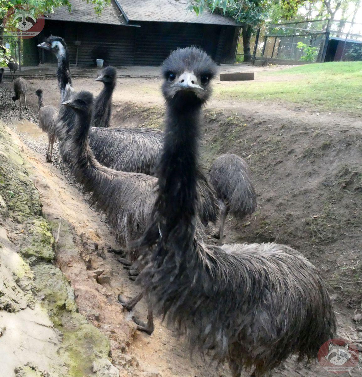 Emu (1)