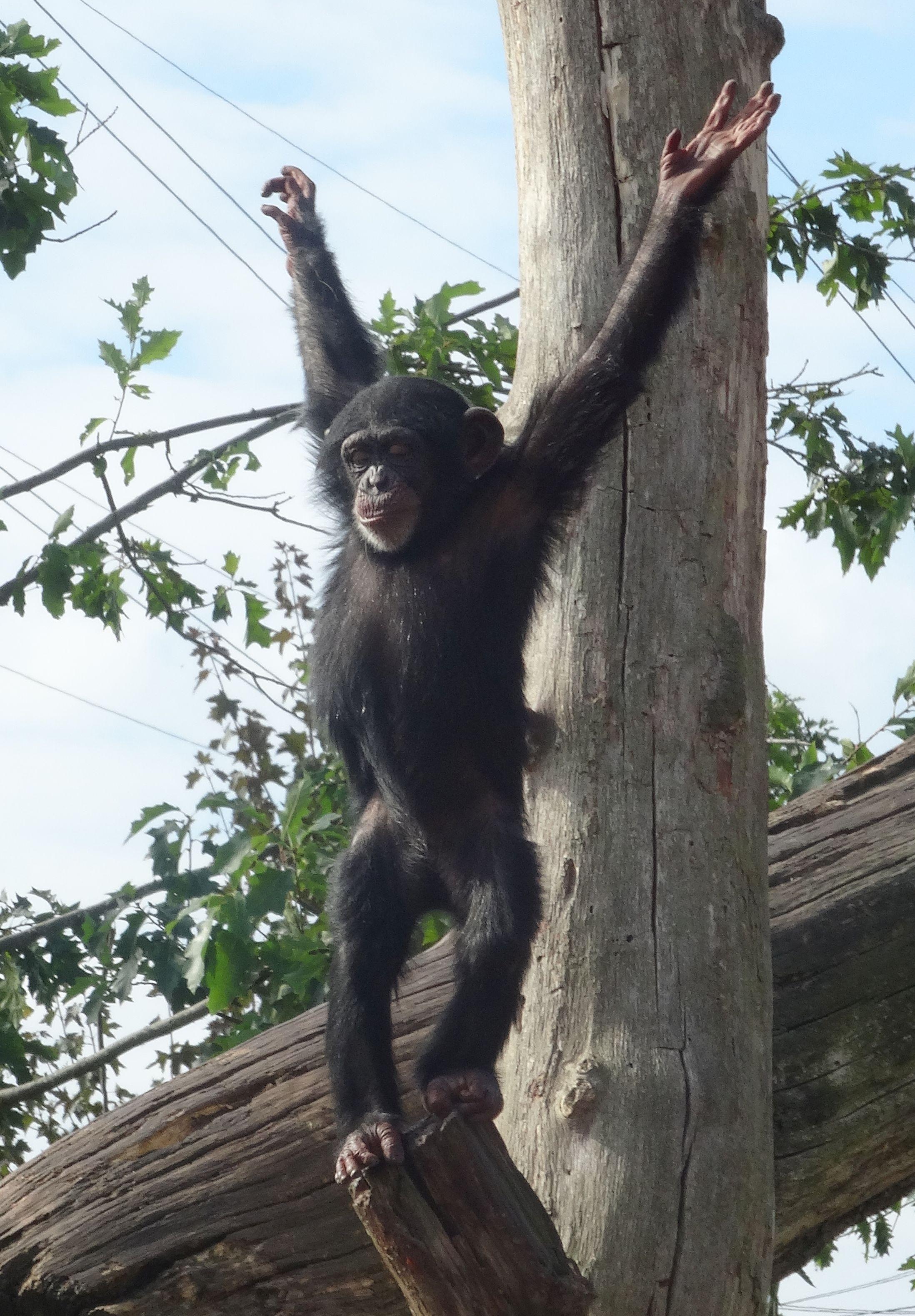 Schimpansen  (9)
