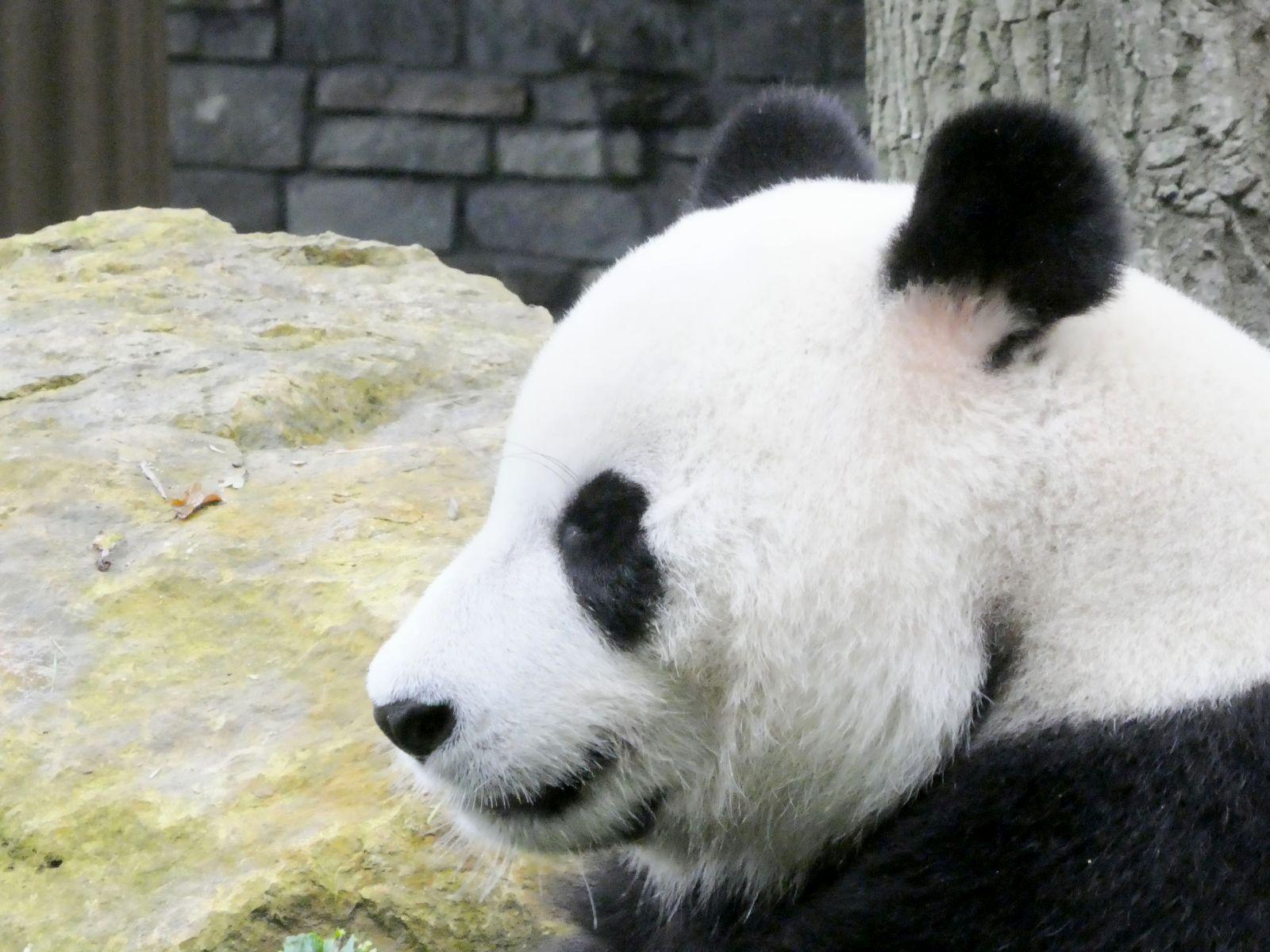 Panda  (30)