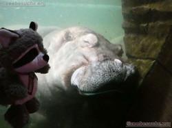 Flusspferd mit Wuschel  (4)