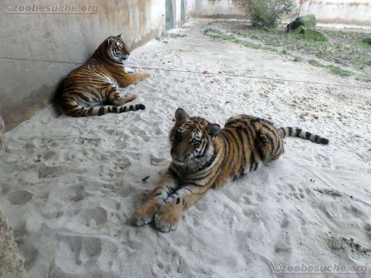 Tiger Jungtier mit Alexa  (1)