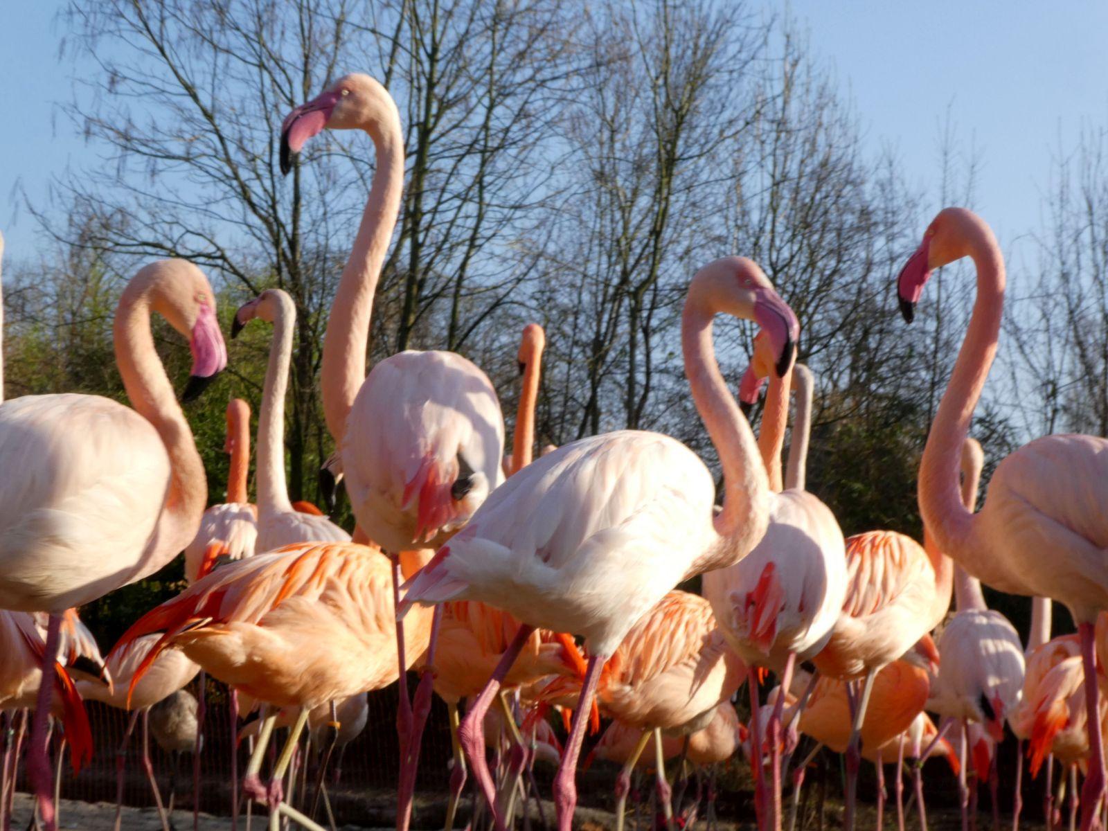 Flamingo  (3)