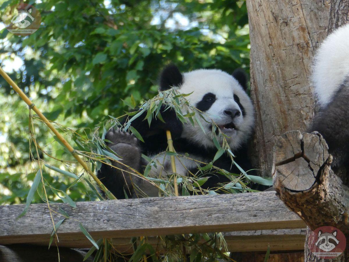 Panda Jungtier  (10)