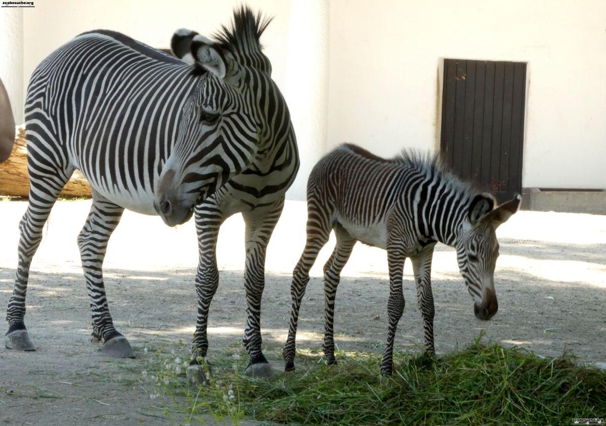 Zebra  (101)