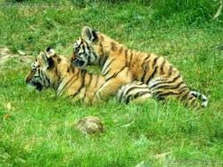 Tiger Jungtiere  (50)