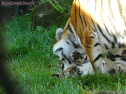 Tigerin Alexa mit Jungtier  (12)
