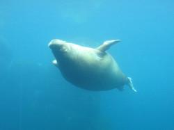 Pazifisches Walross  (8)