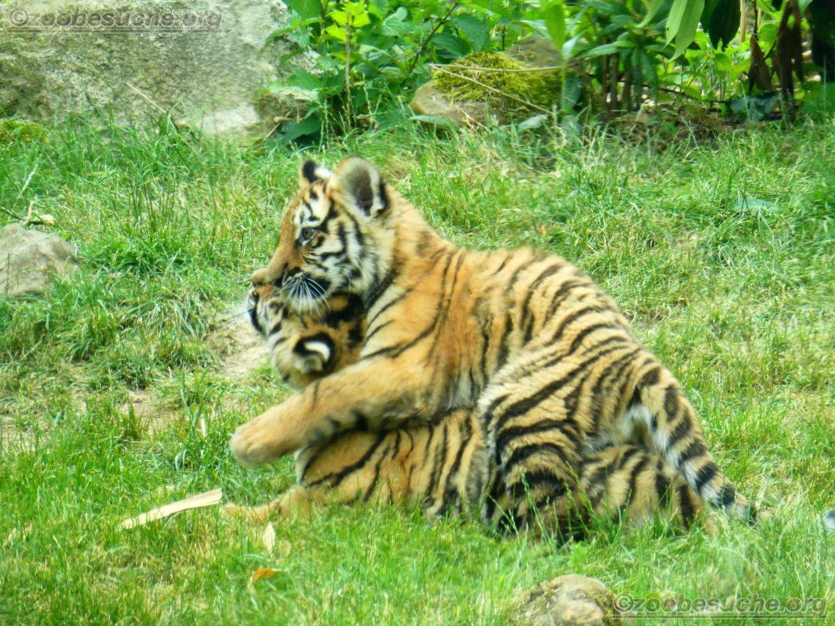 Tiger Jungtiere  (51)