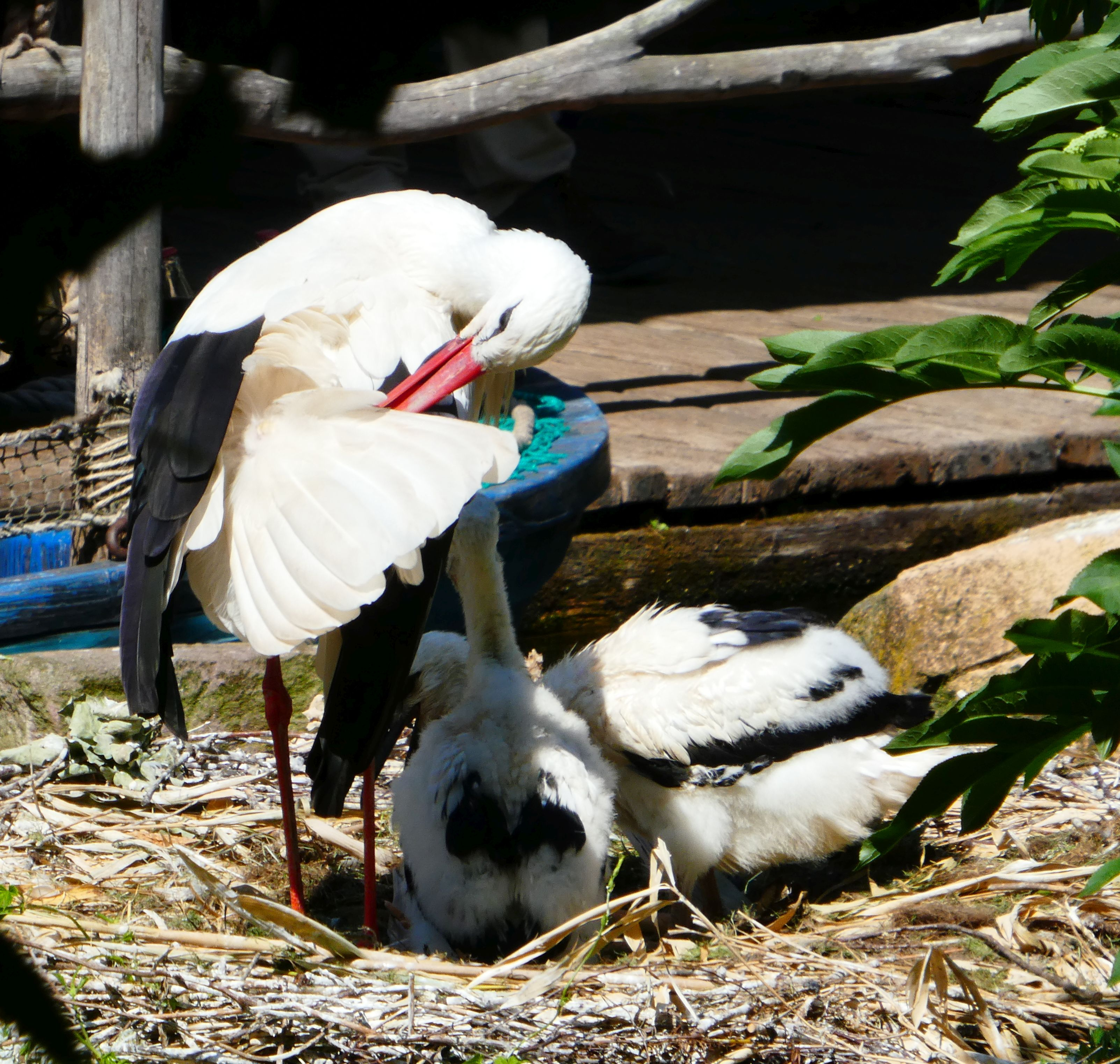 Storch  (7)