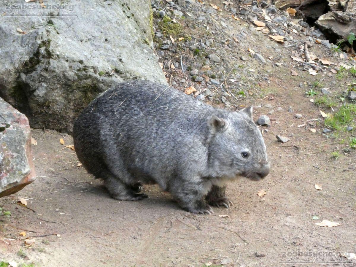 Nacktnasenwombat  (4)