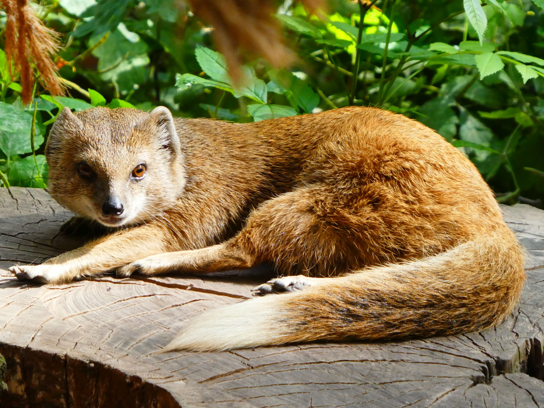 Fuchsmanguste  (3)
